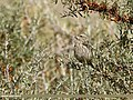 Red-Mantled Rosefinch (Carpodacus rhodochlamys) (37574957704).jpg