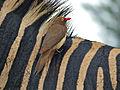 Red-billed Oxpecker (Buphagus erythrorhynchus) on zebra's back (13876320983).jpg