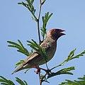 Red-billed Quelea (6608151255).jpg