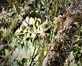 Red-capped Flowerpecker. Dicaeum geelvinkianum (48885369163).jpg