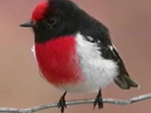 File:Red-capped Robin eulo.ogv