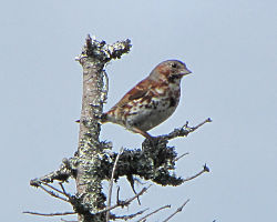 Red Fox Sparrow.jpg