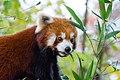 Red Panda (26773713319).jpg