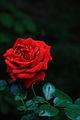 Red Rose 2 (Ingrid Bergman) (9670256475).jpg