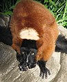 Red Ruffed Lemur 001.jpg