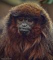 Red Titi Monkey.jpg