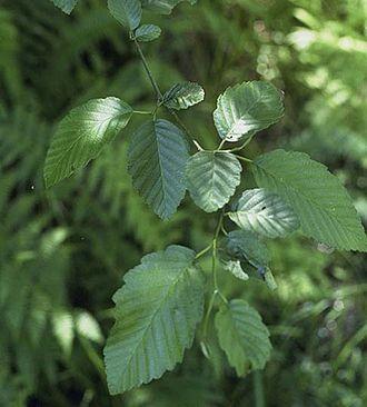 Alnus rubra - Red alder leaves