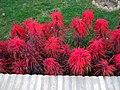 Red flowers - Omar Khayyam Garden - Nishapur 3.JPG