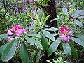 Redw rhododendron 20061030191827.jpg