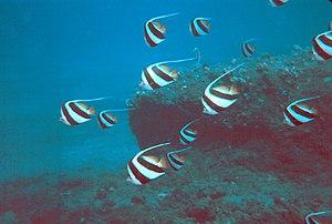 Pennant coralfish - A school of Heniochus acuminatus