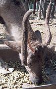 ReindeerLoosingVelvet.jpg