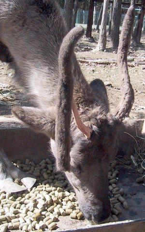 Reindeer - Reindeer losing the velvet layer under which a new antler is growing, an annual process