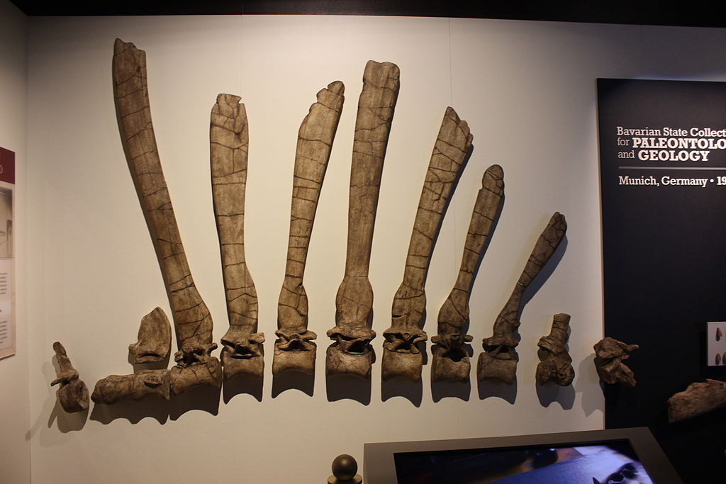 Reproduction of Stromer's Spinosaurus Display