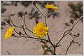 Rhanterium epapposum — Guru Hegde 001.jpg