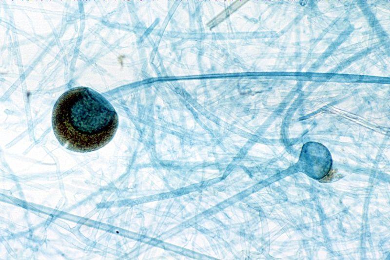 Rhizopus clonal sporangia
