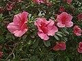 Rhododendron cv. Kiev Grishko 11.jpg