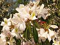 Rhododendron latoucheae var. amamiense 2.JPG