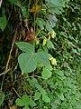 Rhynchosia acuminatifolia02.jpg