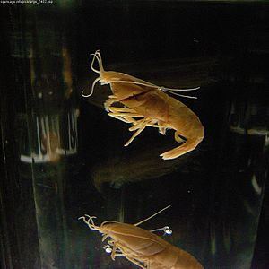 Caridea - Rimicaris kairei