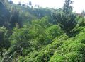 Rize Tea Plantation 2005-jk.jpg