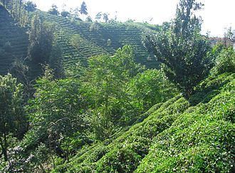 Rize tea - Image: Rize Tea Plantation 2005 jk