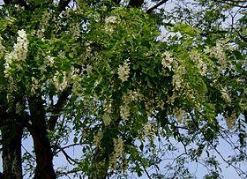 Robinia pseudoacacia wikipedia la enciclopedia libre for Acacia albero