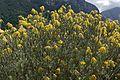 Rocket Pincushion (Leucospermum reflexum luteum var.) (32587747710).jpg