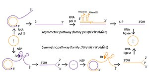 Rolling circle replication - Rolling circle replication of viral RNA