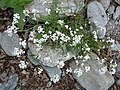 Romanian Flora - Wild white small flower 02.JPG