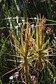 Roridula gorgonias Rebelo 5.jpg