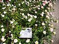 Rosa 'FEtino' F. Ferrer 2001 RPO.jpg