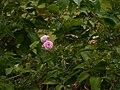 Rosa ¿ species ? (17147594309).jpg