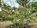 Rosa jasminoides shrub.JPG
