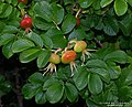 Rosa rugosa fruit (04).jpg