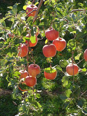"""Fuji (apple) - """"Fuji"""" on a tree"""