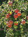 Rosaceae Malus pumila Malus pumila Var domestica Apples Fuji.jpg