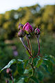 Rose, Gertrude Jekyll - Flickr - nekonomania.jpg