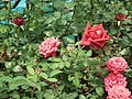 Rose from Lalbagh flower show Aug 2013 8561.JPG