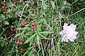 Rose hips and scabious - geograph.org.uk - 986790.jpg
