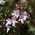 Rosmarinus officinalis-Romarin-Fleurs-20160420.jpg