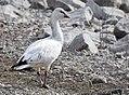 Ross's Goose (34229953106).jpg