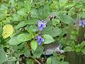 Rotheca myricoides (20983543325).jpg