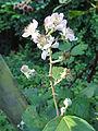 Rubus bifrons - Botanischer Garten, Frankfurt am Main - DSC02471.JPG