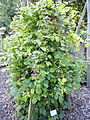 Rubus conspicuus - Botanischer Garten, Frankfurt am Main - DSC02488.JPG
