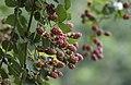 Rubus sp., Giresun 2017-07-06 01-1.jpg