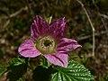 Rubus spectabilis 39139.JPG
