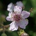 Rubus vestitus-Ronce revêtue-201606173.jpg