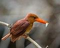 Ruddy Kingfisher.jpg