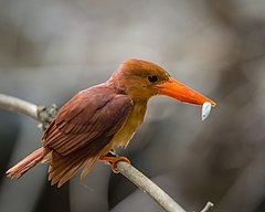 Ruddy Kingfisher.jpg