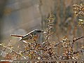 Rufous-backed Redstart (Phoenicurus erythronotus) (27716636656).jpg